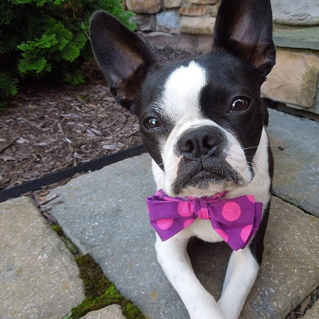 18 Dapper Dogs Dressed Up For National Bow Tie Day: Thank you, humans of the world, for taking full advantage of National Bow Tie Day today and dressing up your pups with bow ties in every shape and color.