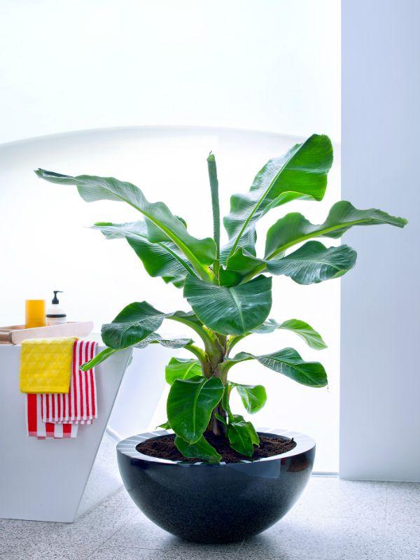 Organiseer een spa-dag met je bananenplant