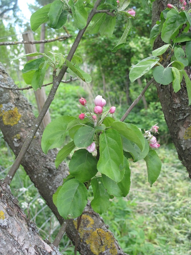 Apple tree flowers, omenapuun kukkia