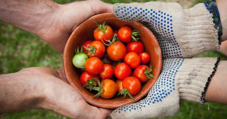 Top 5 para combatir la polilla del tomate o Tuta