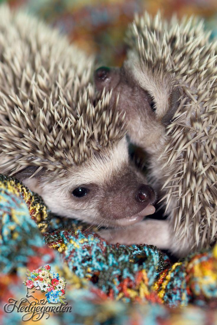 https://www.facebook.com/Hedgegardens?ref=hl #hedgehog #baby #twins #hedgies