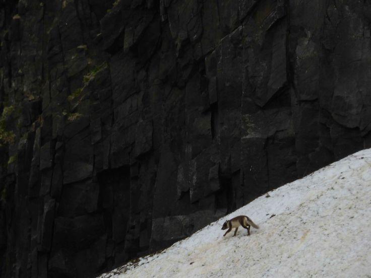 Arctic fox stalking birds