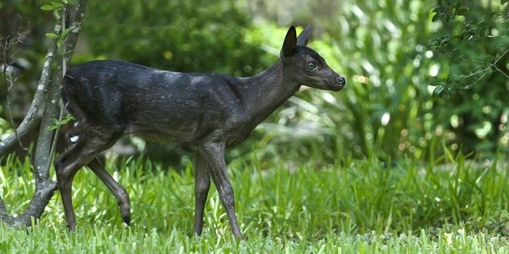 Pin By Darko Dameon On Oh Canada Melanistic Animals Whitetail Deer Melanistic