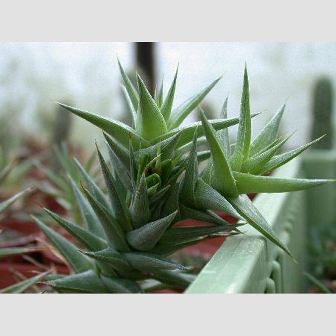 Abromeitiella brevifolia