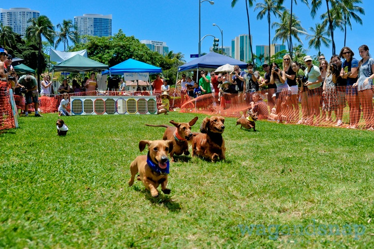 The Hawaii Wiener Derby!  So many sausage dogs!