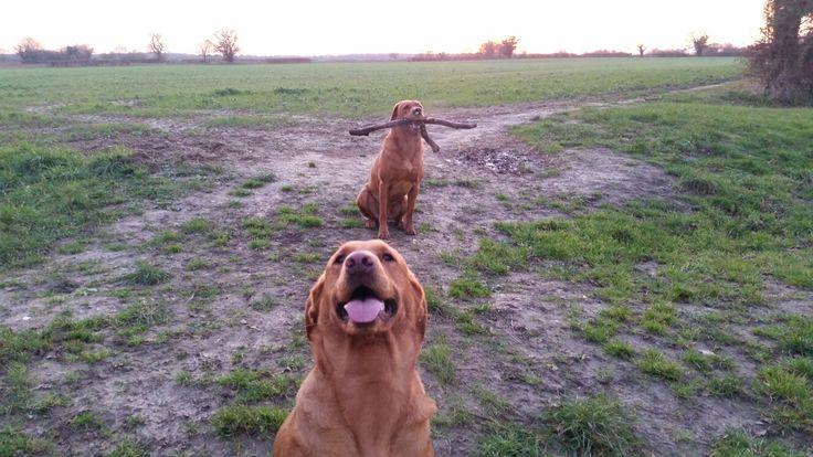 Olive & Henry Fox Red Labrador s