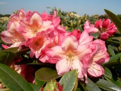 Rhododendron 'Diana'