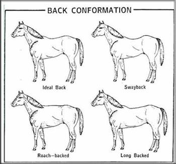 Equine conformation – The Rubber Curry Comb – Page 3