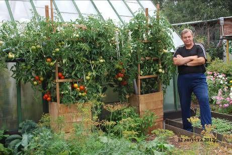 Технология получения максимального урожая при выращивании помидорного дерева