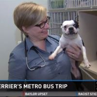 Lost Boston Terrier Rides Bus For 20 Miles - HA! Only a BT would do something like this. Look at that face!