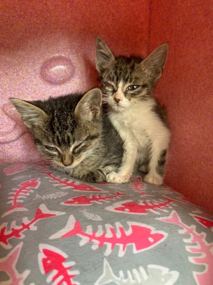 2 Stray Kittens Are Given The Gifts Of Life Love And Sight After Four Months In Foster Care Pet Adoption Center Kitten Season Kittens
