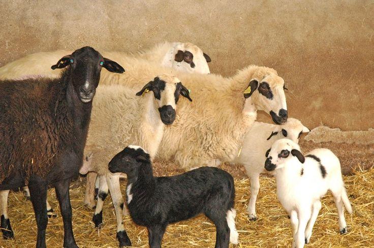 ¿Qué razas ovinas hay en nuestro país?