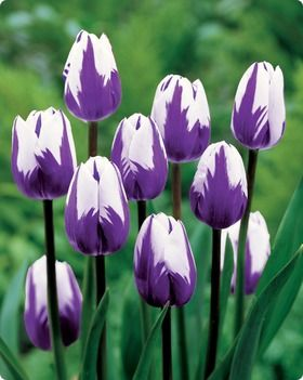 Tulip Blueberry Ripple: sensational color combination of striking white flowers with violet-blue
