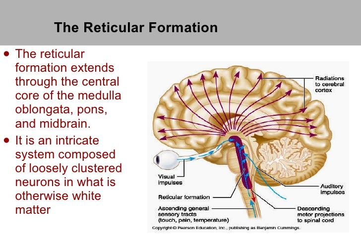 Reticular Formation (RF): area of neurons running through middle of medulla and pons and slightly beyond. Play role of general arousal, alertness, sleep.