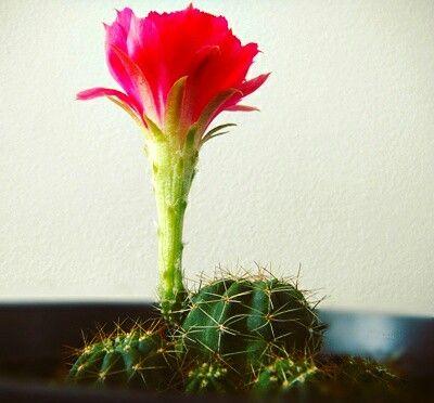 Cactus florecido a nuestro cuidado