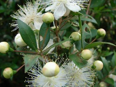 Комнатное растение цветок мирт домашний: фото, размножение и уход ...