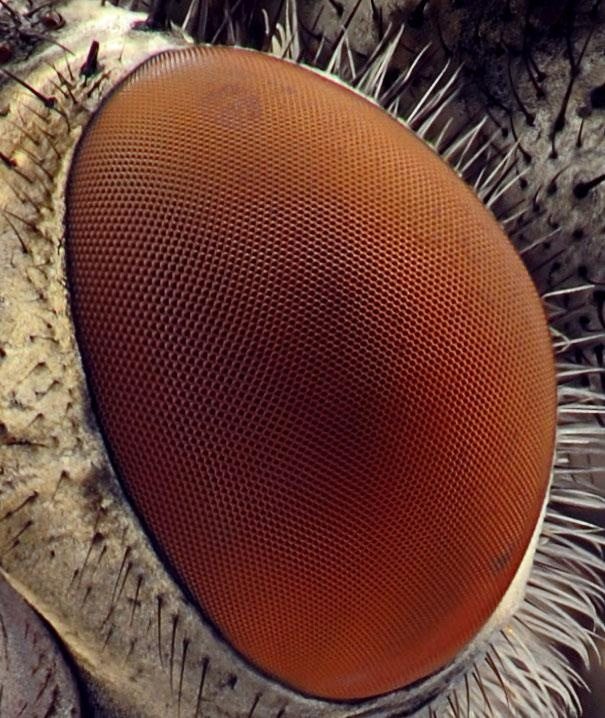 Фасетчатый глаз мушки дрозофилы