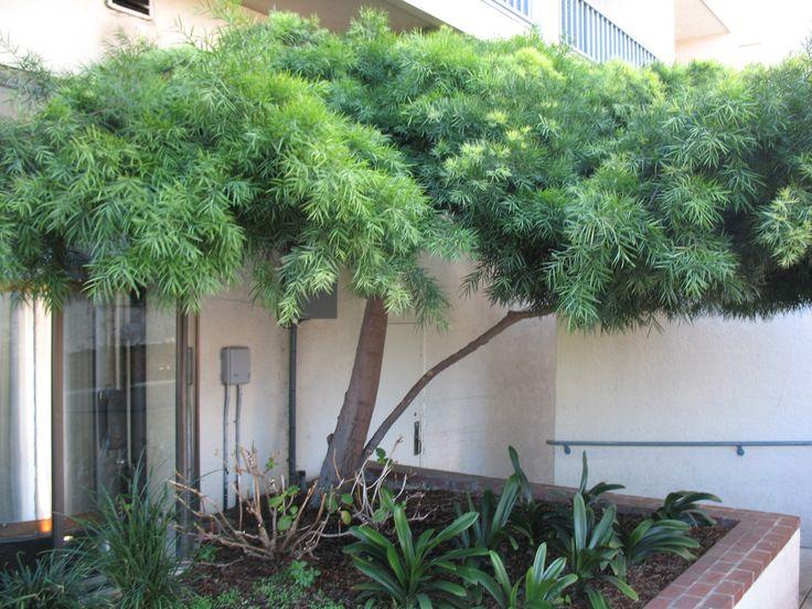 Fern Pine for courtyard - Podocarpus gracilior  / Podocarpus gracilior