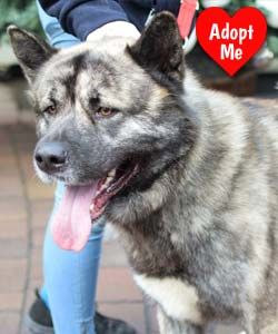Zuki is looking for a home. A stunning example of his breed. Any Akita enthusiast will fall in love with his lovable fun nature https://www.dfordog.co.uk/blog/rescue-dog-of-the-month.html