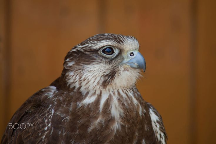Bird of prey portrait by Michaela Smidova on 500px