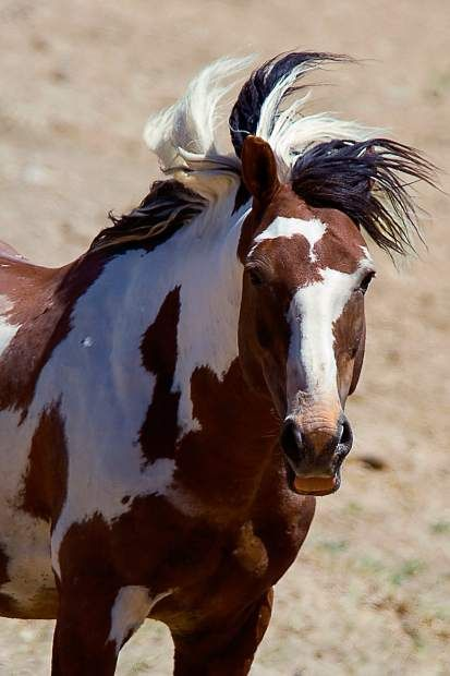The Wild Mustangs of Sand Wash Basin. This shall be a common message, so spread it across Pinterest!!! Stop the BLM!!!