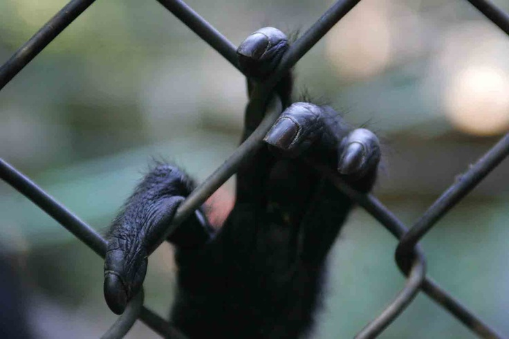 En 1994, Elba Muñoz, matrona de profesión,  recibió un mono barrigudo que le cambio la vida y la convirtió en la única rescatadora de primates de nuestro país. En la actualidad, tiene más de160 monos (barrigudo, araña, capuchino, caí cariblanco y papión), que salvo de las garras de zoológicos, circos y laboratorios, en su centro de rehabilitación de Peñaflor.  Fotografías: César Silva Quiroz.