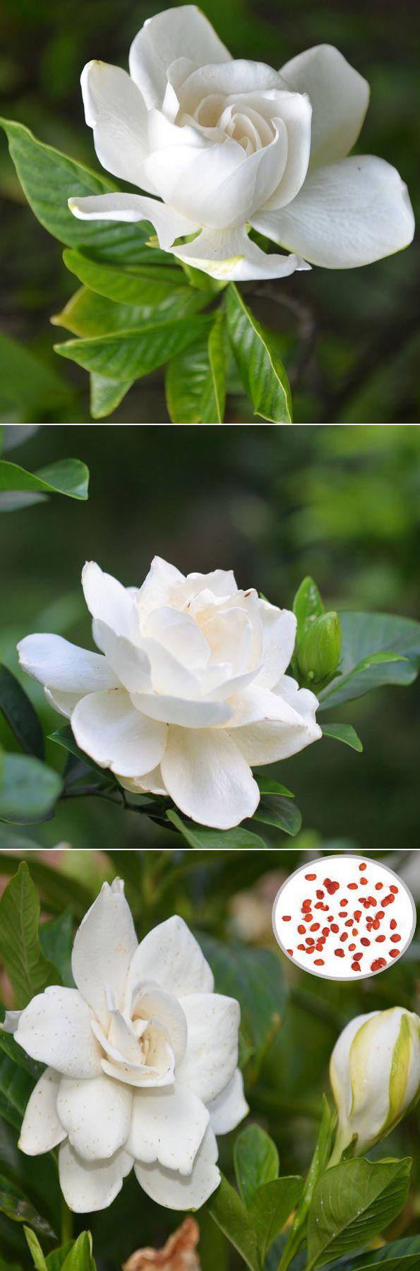 White gardenia seeds