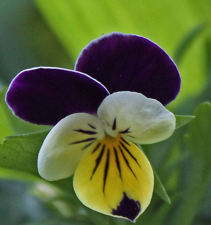 How to grow johnny jump up flowers plant care guide