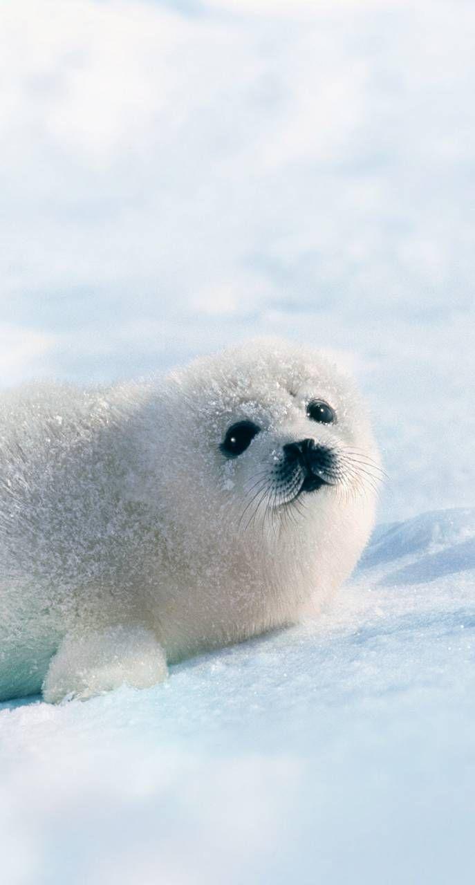 White Seal Cute Baby Animals Animals Beautiful Cute Seals