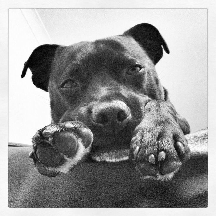Dewey - Staffordshire Bull Terrier