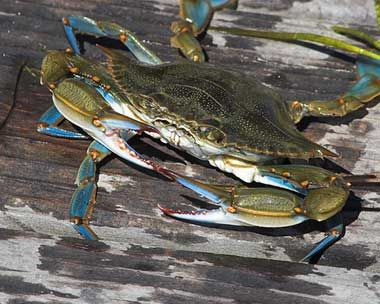 Blue Crab - Maryland State's official crustacean symbol. (neat website for all State symbols)