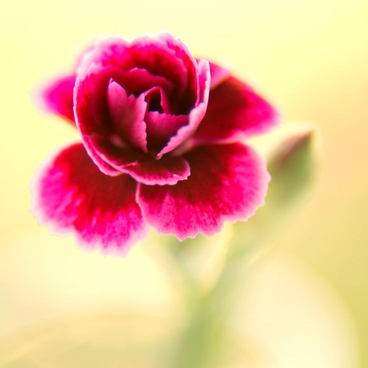RedFlower by miroslav-petrinec on DeviantArt