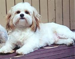 Image result for maltalier dog
