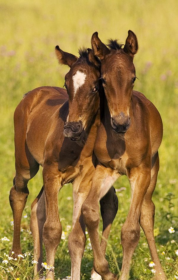 Hannoverian foals