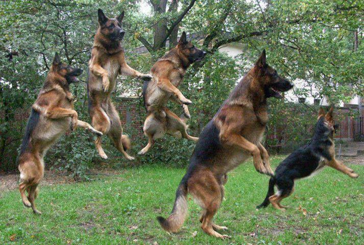 German Shepherds got the moves......
