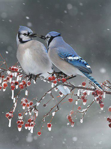Blue jays in the winter