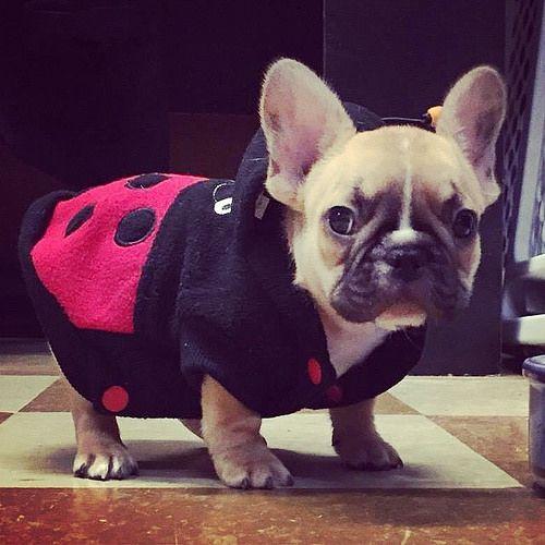 Tiny little Ladybug, French Bulldog Puppy.