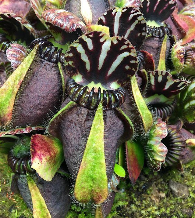 Another hummers #carnivorousplants #carnivorousplant #cephalotus #cephalotusfollicularis #pitcherplant #pitcherplants #pitcherplantsofinstagram #carnivore