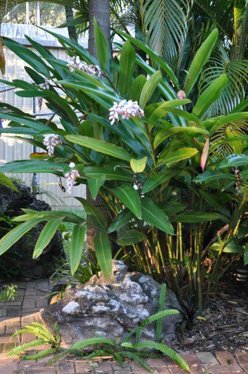 Gingers | Alpinia zerumbet cv. 'Green Shell' will continue to clump in hte shade and can be lifted and divided and moved