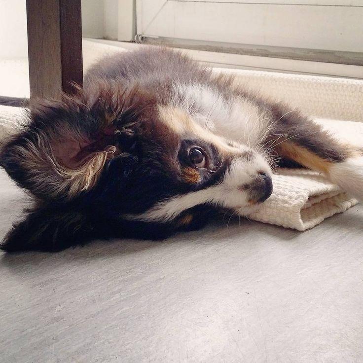 Waiting for mum to finish work.  #friday #puppyworldproblems #koda #kodatheminiaussie #miniaussie #miniaussiepuppy #miniaussies #miniaussiesofinstagram #toyaussiesofinstagram #toyaussie #puppylove #puppypics #puppyeyes #pupsofinstagram #pupstagram #dailyworldofpuppies #dailypuppy #koira #koiranpentu #koirat #koirakuvat