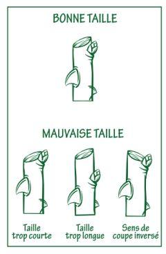 Les grandes règles de la taille des rosiers - jardinerie Truffaut conseils Rosiers Truffaut