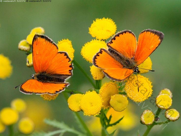 Loistokultasiivet - loistokultasiipi Lycaena virgaureae perhoset päiväperhoset…