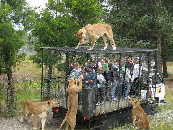 İnsanların heyecan olsun diye girdiği kafeslere hayvanlar zorunluluktan giriyor. Ya tam tersi olsaydı...