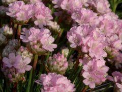 """Armeria """" Röschen """" - trávnička Zahradnictví Krulichovi - zahradnictví, květinářství, trvalky, skalničky, bylinky a koření"""