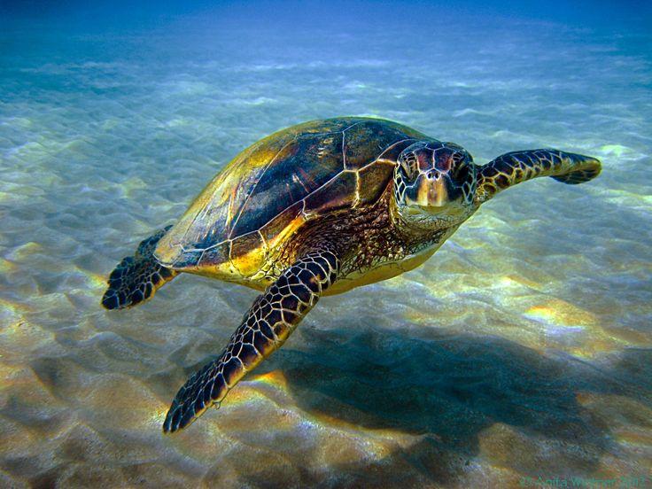 Hawaiian green sea turtle or honu   Sea Turtles Restoration Project   Photo: Anita Wintner.
