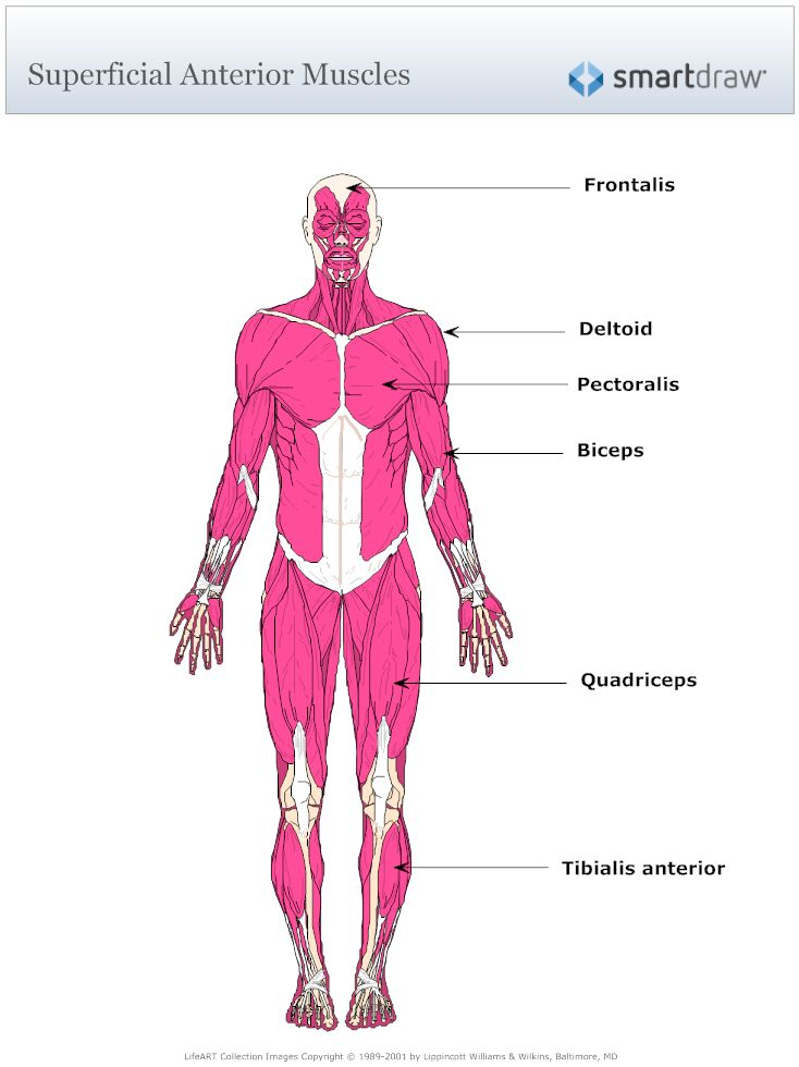 Musculoskeletal Anatomy Coloring Book By Joseph E Muscolino : Example image: muscular system diagram musculoskeletal