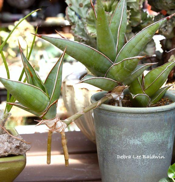 220 besten zimmerpflanzen arten bilder auf pinterest. Black Bedroom Furniture Sets. Home Design Ideas