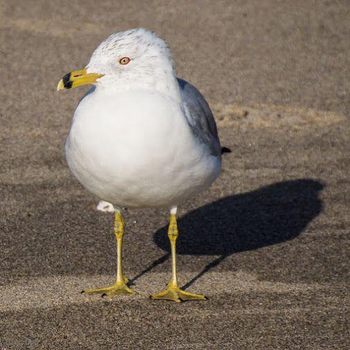 Ring-billed Gull Malibu Lagoon, California
