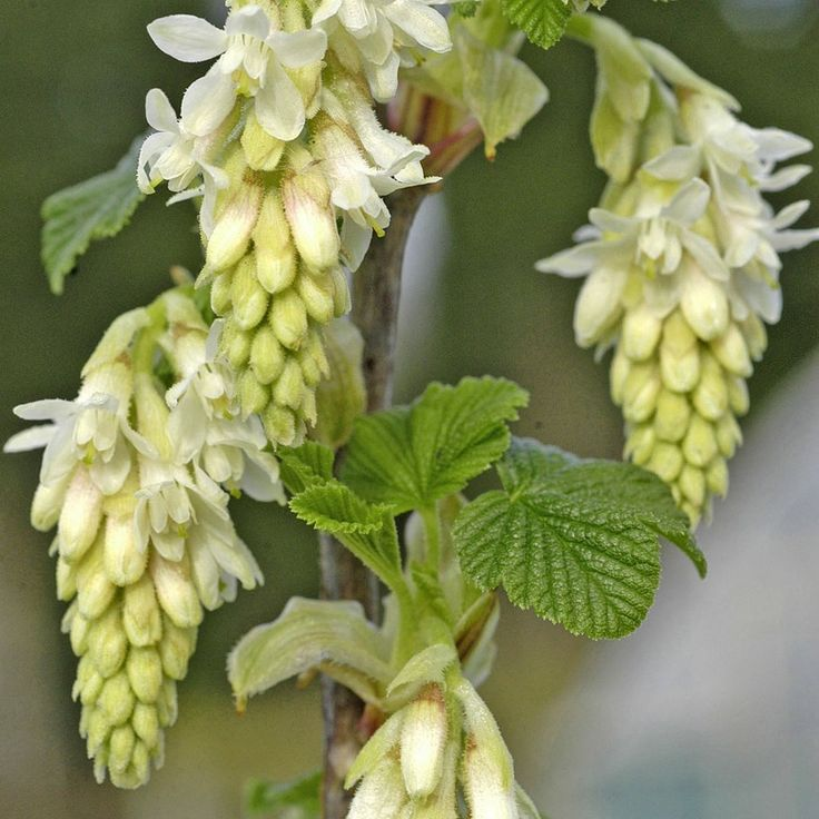 Plant Identification | Ribes Sanguineum 'Elkington's White' flowering currant. My fave in driveway bed.
