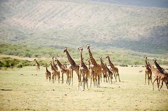 Poster Masai giraffes (Giraffa camelopardalis tippelskirchi) in a forest Lake Manyara Tanzania Poster Print by Panoramic Images (36 x 24)